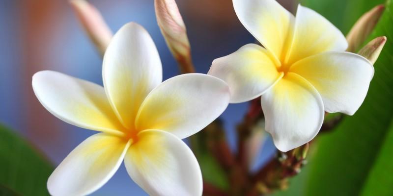 Frangipani-Blüten für die Lomi Lomi Nui