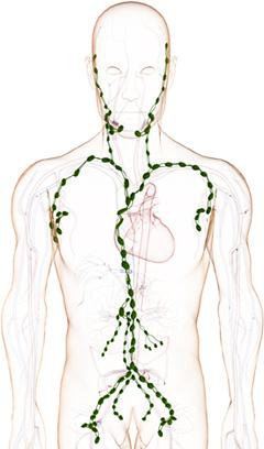 Das menschliche Lymphgefäßsystem